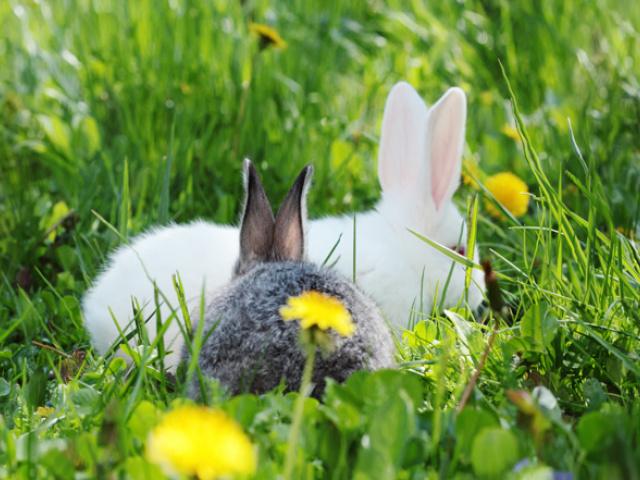 Brumisation élevage de lapins